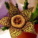Суккулент - растение (6)