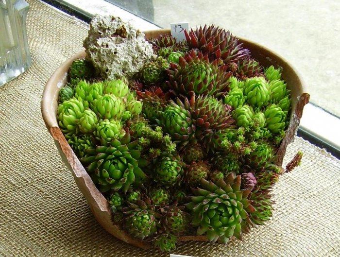 Суккулент - растение (64)