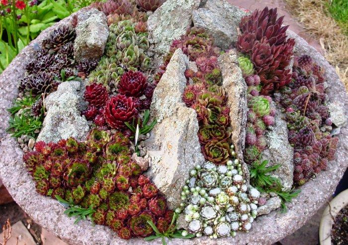 Суккулент - растение (69)