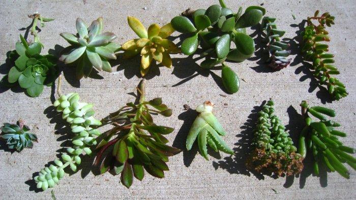Суккулент - растение (73)