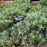 Суккулент - растение (8)