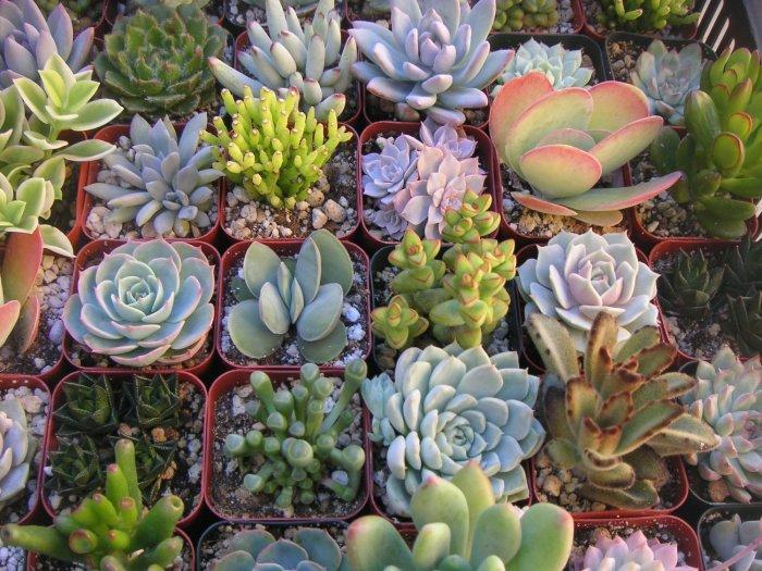 Суккулент - растение (81)