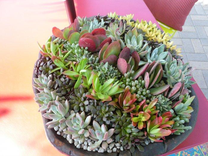 Суккулент - растение (83)
