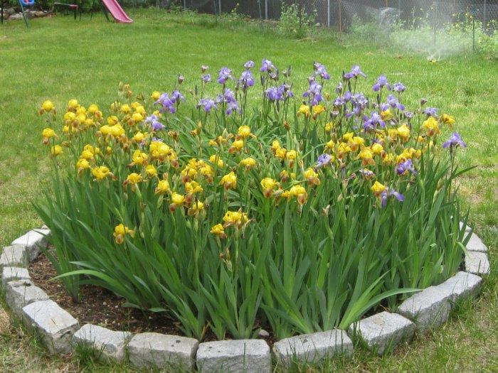 Цветы ирисы выращивание: уход и 97